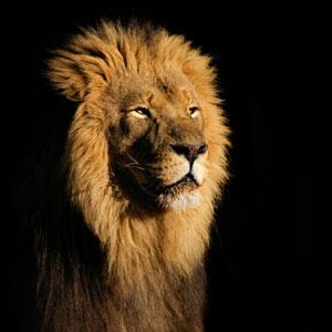 lion-wenego